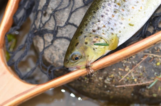Brown trout were successfully introduced into our state, and are now reproducing.