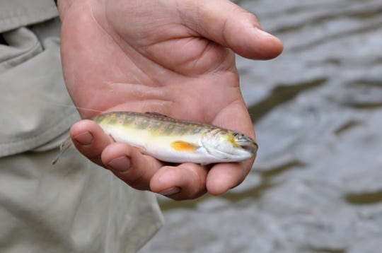 "The Brook Trout is actually a char, and ""native brookies"" are most likely descendants of stocked trout."
