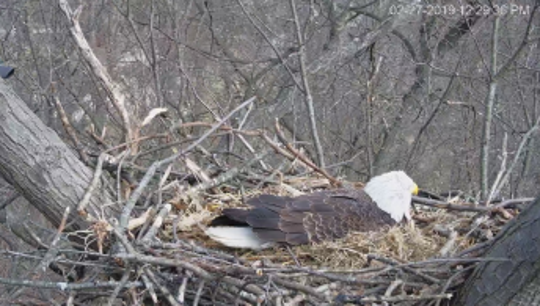 Liberty, the female eagle in a nest in Codorus State Park, laid her first egg of 2019 on Tuesday, Feb. 26 (Photo courtesy of HDOnTap).