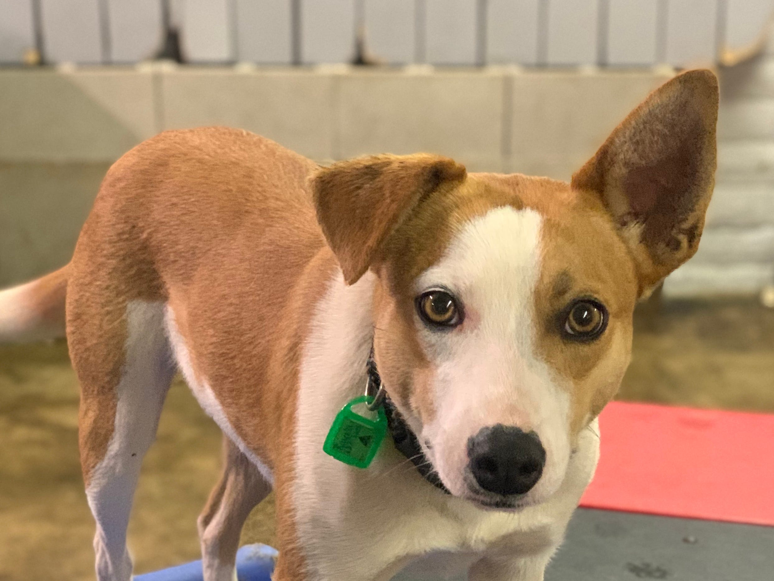 Rayna is a female cattle dog mix who weighs about 30 pounds. She's sweet and ready to please. She does okay with other dogs, but no cats. She loves men. She's learning leash and house manners. Visit Tails of Rescue Adoption Center, 981 Lake Blvd., Redding. Call 448-7444. Go to http://tailsofrescue.org.