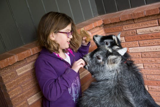 Haley Pollman, 9, feeds crackers to her goats Fred and Ginger on the front porch of her home in Salem on Saturday, Feb. 23, 2019.