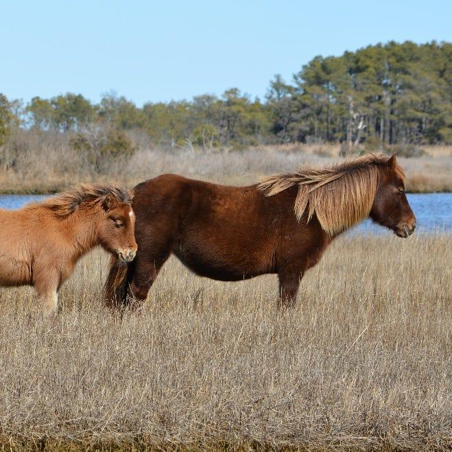 Three aged mares presumed dead on Assateague