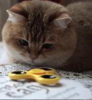A cat contemplates a fidget spinner toy in this still from a video included in CatVideoFest, a 70-minute cat video compilation coming to Marcus Parkwood Cinema on March 11.