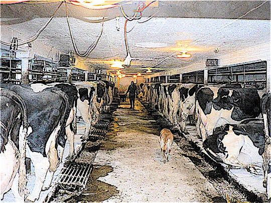 100 cows was a big farm 30 years ago.