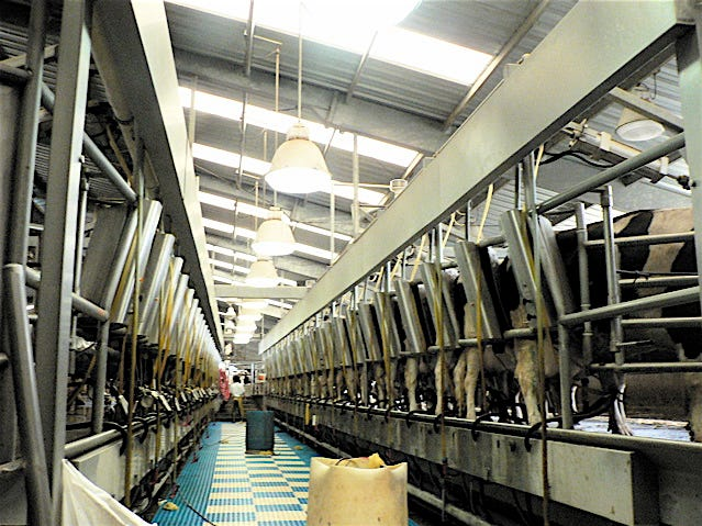 A Double 50 milking parlor in California. Big, even by today's standards.