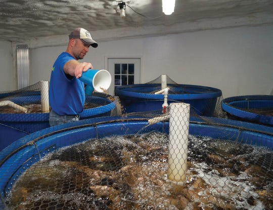 Tilapia swim in tanks where the heifers used to stand in Nate Calkins' former milking barn.