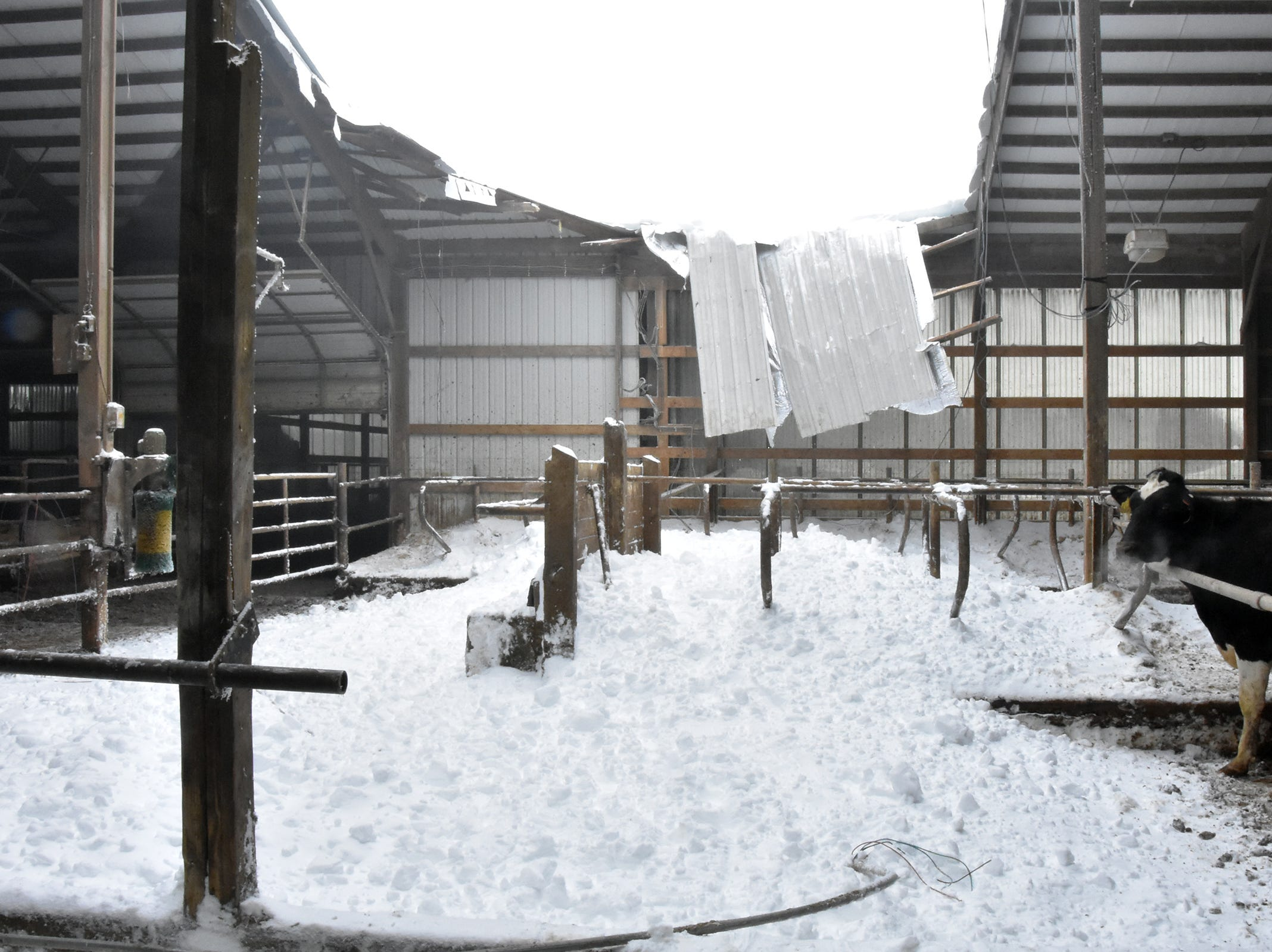 A Holstien looks at the aftermath of a roof collapse at Dutch Dairy in Thorp on Feb. 24.