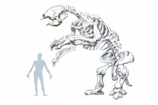An artist's rendering of the skeleton of the giant sloth, which grew up to 12 feet in height.