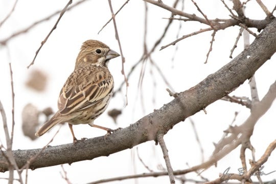 A Lark Bunting, a bird that had so far eluded Jay Packer until a recent visit from fellow Texas birder David Sarkozi.