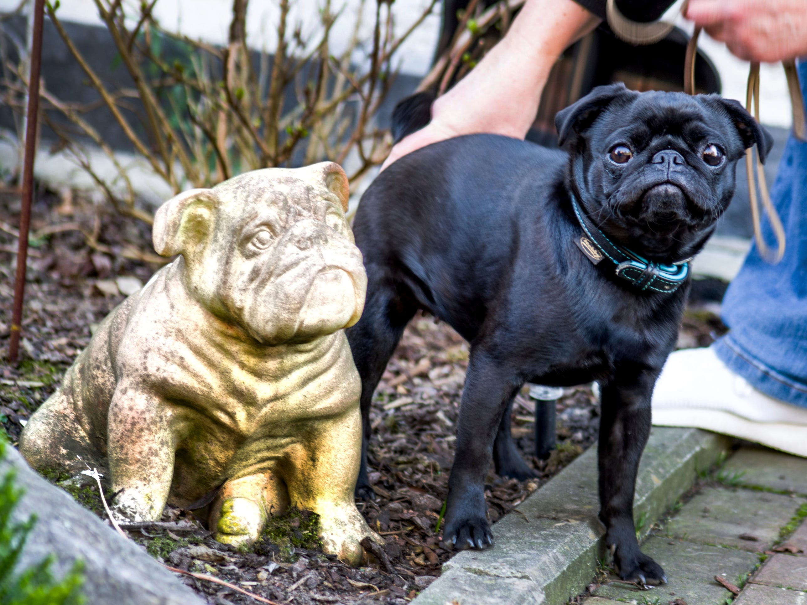German officials are defending their decision to seize an indebted family's pet pug, pictured above in Duesseldorf, Wednesday, Feb. 27, 2019, and sell it on eBay, saying the move was a last resort because authorities were unable to find anything else to take.