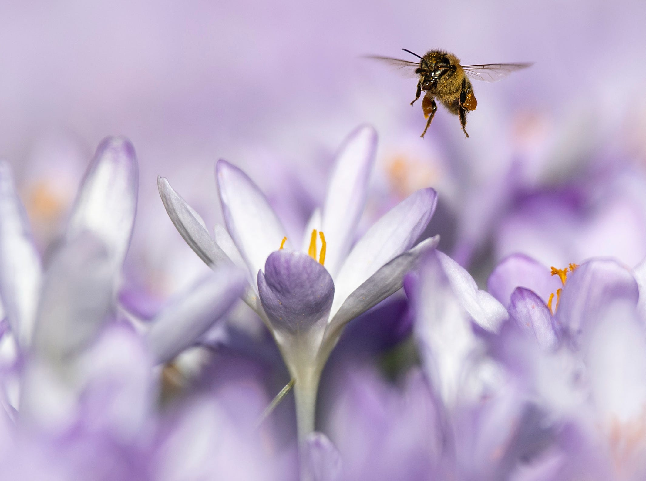 A bee forages around flowers on a warm winter's day, Wednesday, Feb. 27, 2019 in Bern, Switzerland.  The unseasonably warm weather seems to have bought the seasons forward by some weeks, revealing a spring view while still being in winter.