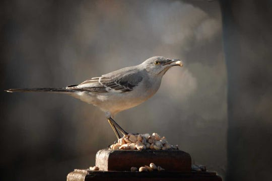 A northern mockingbird, which does not habitually visit feeders, dines on a handful of raw unsalted peanuts set out atop a deck post.