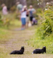 Otters hop up on the trail at Bird Rookery Swamp Trail , managed by the CREW Land Trust.