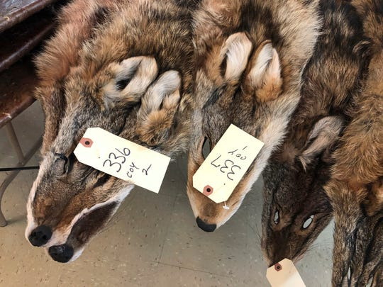 In this Feb. 2, 2019 photo, coyote pelts are displayed for sale at a trappers' auction in Herkimer, N.Y. Coyote is one of the few animals can get a decent price for thanks largely to demand driven by coats with coyote trim. Fur-trimmed parkas so common on city sidewalks have become a boon to backwoods trappers. (AP Photo/Michael Hill)
