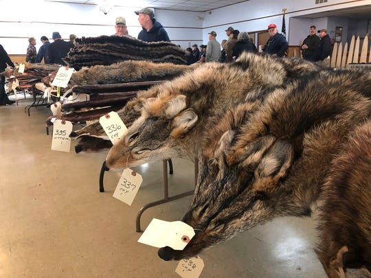 In this Feb. 2, 2019 photo, Coyote pelts for sale line tables at a trappers' auction in Herkimer, N.Y. Coyote pelts are in big demand to provide the lush, silvery or tawny-tinged arcs of fur on the hoods on Canada Goose coats and their many global imitators. (AP Photo/Michael Hill)