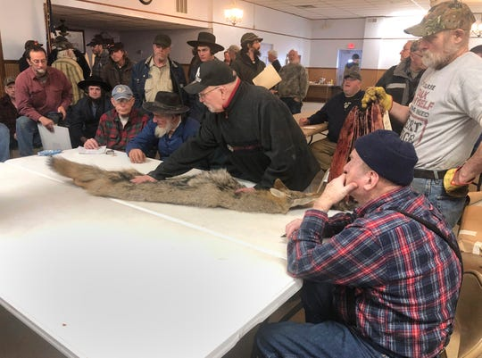 In this Feb. 2, 2019 photo, potential buyers examine a coyote pelt on a table at a trappers' auction is inspected by potential buyers in Herkimer, N.Y.  Coyote fur is sold at big auction houses in Canada, by individual fur buyers across North America and at local auctions near where the animals roam. (AP Photo/Michael Hill)