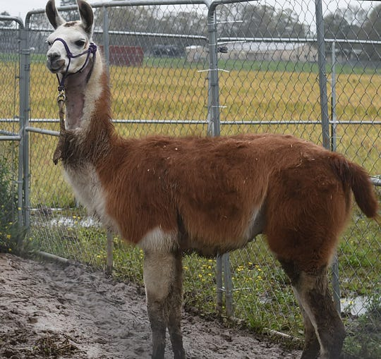 Earl the llama is healing from his gunshot wounds at the St. Landry Parish Animal Control and Rescue shelter in Opelousas.
