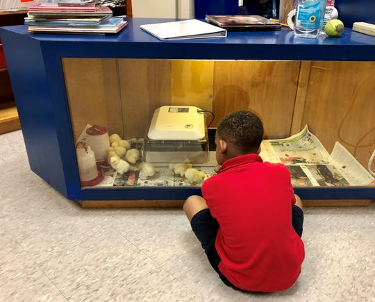 A student at Alice Boucher Elementary watches the baby chicks in his school library. Students watched them as eggs in the incubator and will continue to watch them grow for a few more weeks before they find new homes.