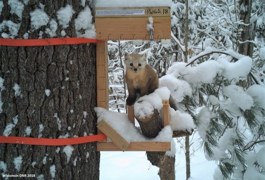 In December 2018, the Wisconsin DNR deployed trail cameras in the Chequamegon-Nicolet National Forest to monitor martens, the state's only endangered mammal.