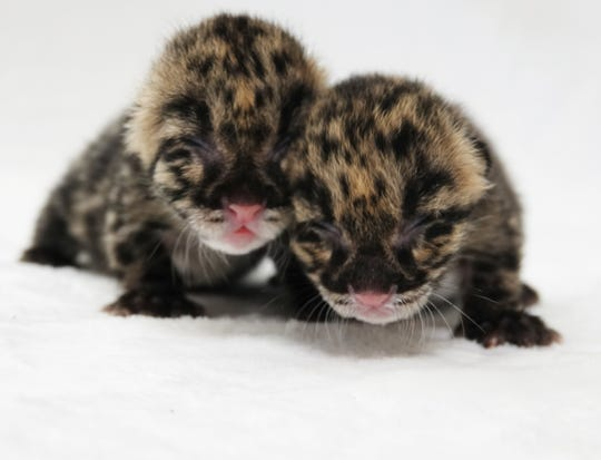 The Naples Zoo celebrated the birth of two female endangered clouded leopard kittens on Feb. 22, 2019.