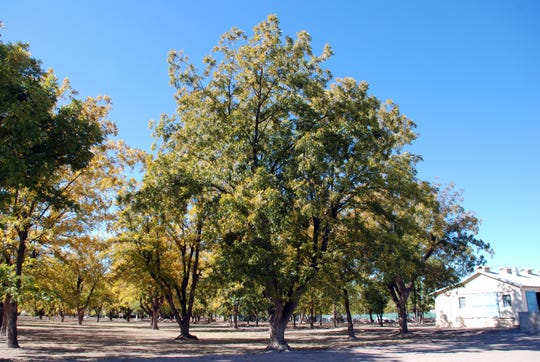 Some of the larger pecan trees in NMSU's Fabian Garcia Science Center orchard still sport old metal identification tags. This veteran's tags identify its location and variety as ROW 1 TREE 4, STUART. Stuart was among the 17 varieties planted in the original pecan orchard in 1916, according to an Agricultural Experiment Station bulletin published in 1925.