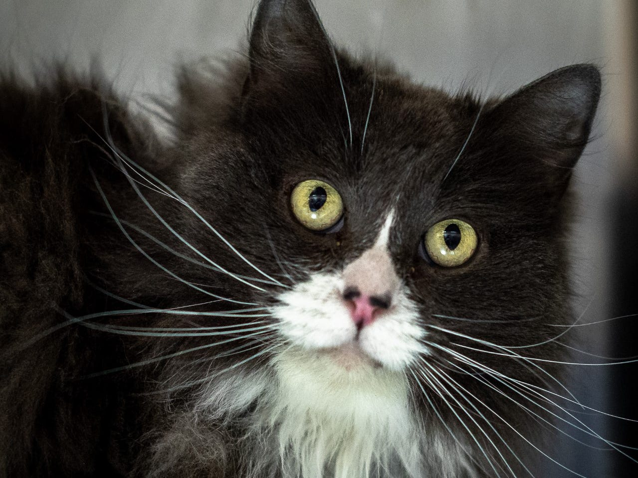 Lilac - Female (spayed) domestic medium hair, about 2 years old. Intake date:1/14/2019