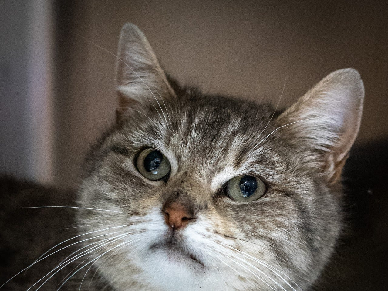 Tonks - Male domestic short hair, about 4 years old. Intake date: 2/15/2019