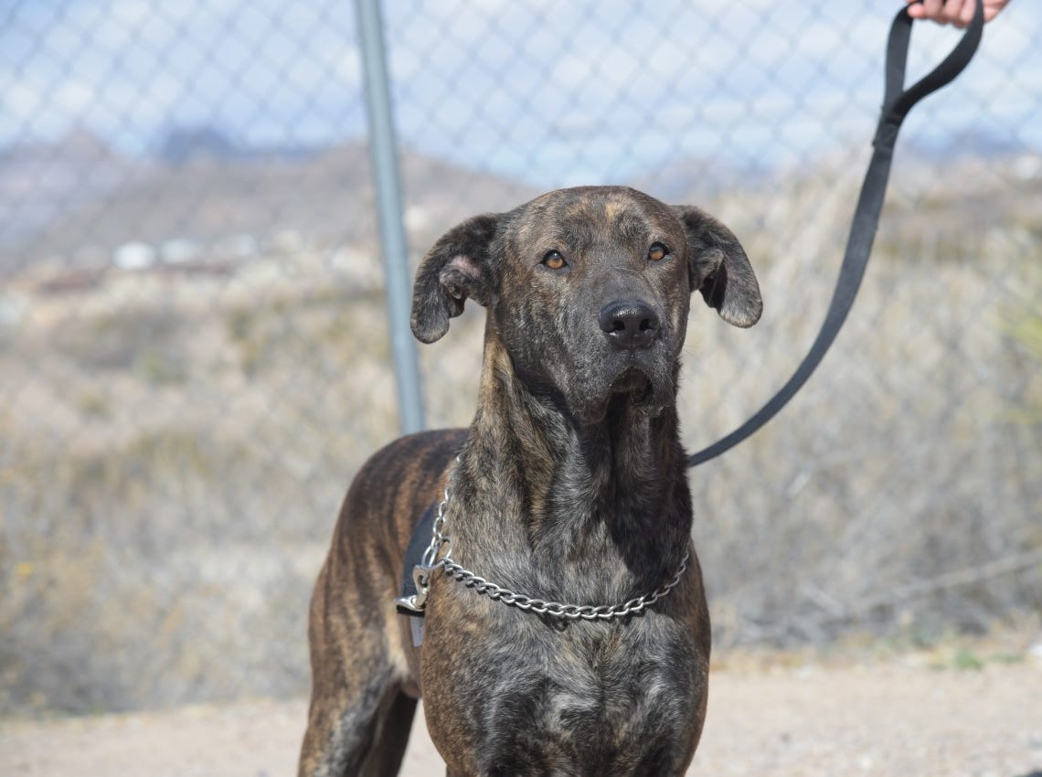Keith - Male (neutered)Lab mix. Intake date:11/08/2018