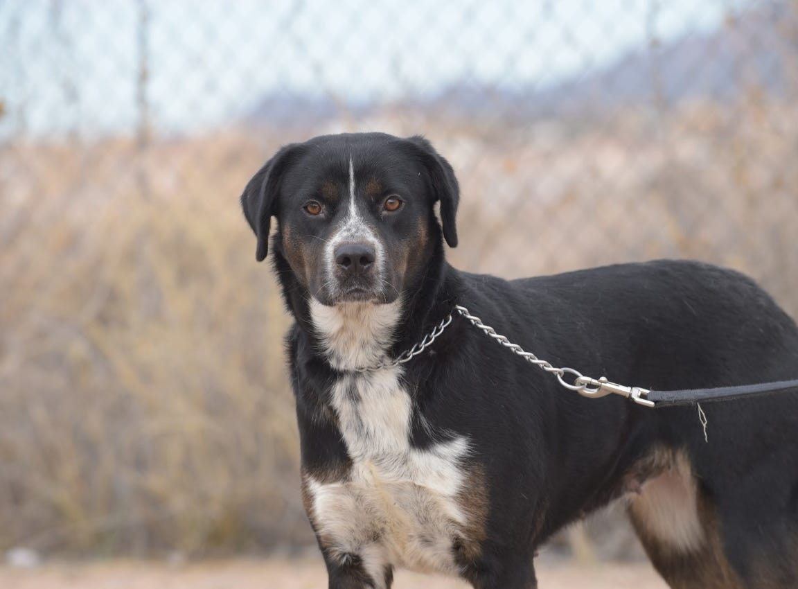 Momma - Female (spayed) heeler/Lab mix, about 3 years old. Intake date:9/28/2018