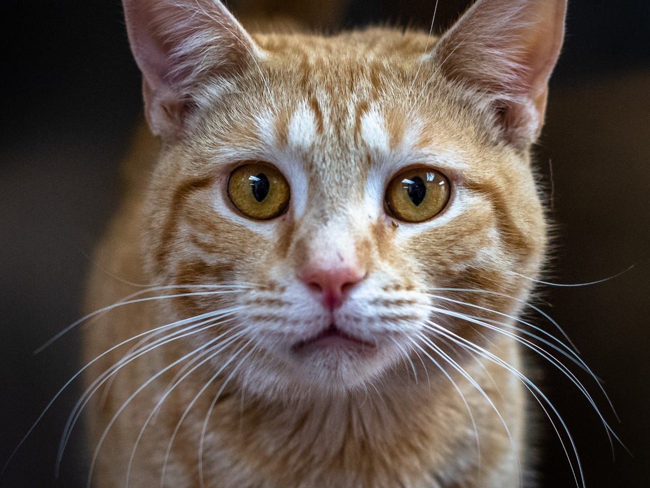 Lewis - Male domestic short hair, about 4 years old. Intake date:2/16/2019