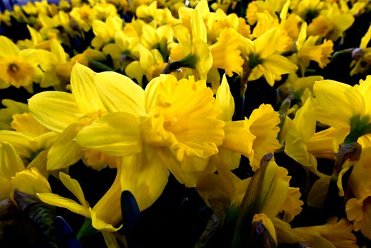 """Daffodils are delivered to the PA Garden Show of York Wednesday, Feb. 27, 2019. The show, themed """"Flowers on Parade,"""" is in Memorial Hall at the York Expo Center March 1-3. Hours Friday and Saturday are 10 a.m. to 8 p.m., and Sunday 10 a.m. to 5 p.m. Admission for adults is $10. Children are free with multi-day passes and and senior discounts offered. Bill Kalina photo"""