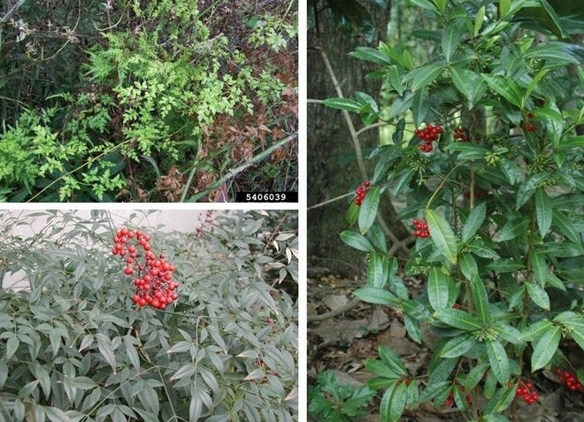 Common invasive, exotic plants affect homeowners and land managers alike. Clockwise from top left: Lygodium japonicum, Coral ardisia, Nandina domestica.