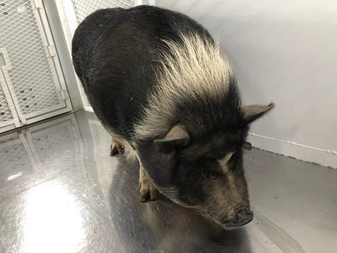 Visalia police found this pig roaming the streets. Officers are now looking for the owner.