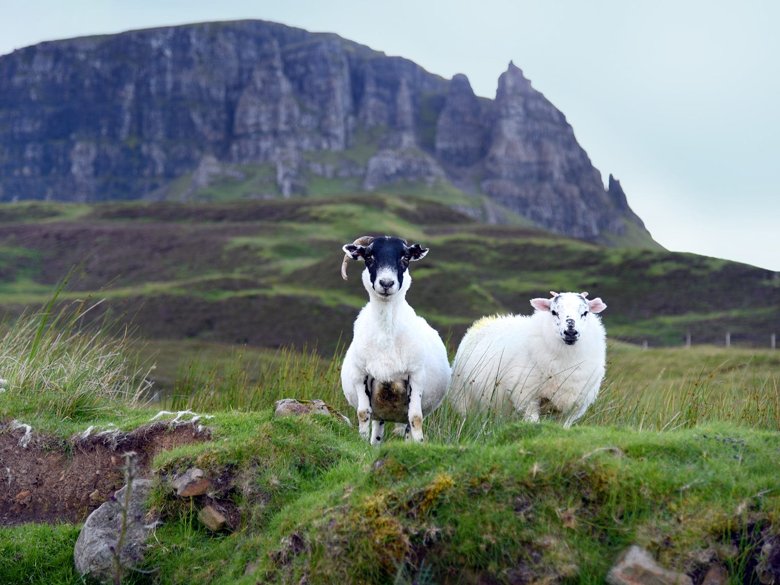 As you drive around the Trotternish Peninsula on the Isle of Skye, you may encounter more sheep than people.