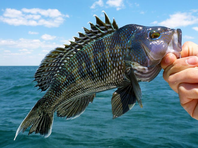 Black sea bass are making somewhat of a comeback.