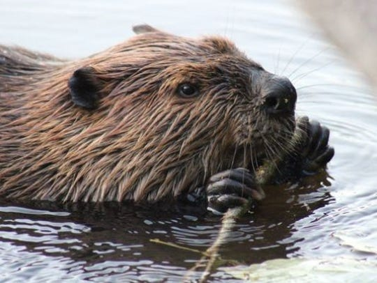 A beaver in a New Jersey pond.