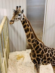 A new reticulated giraffe named Johari is now living in Animal Adventure Park with Tajiri.