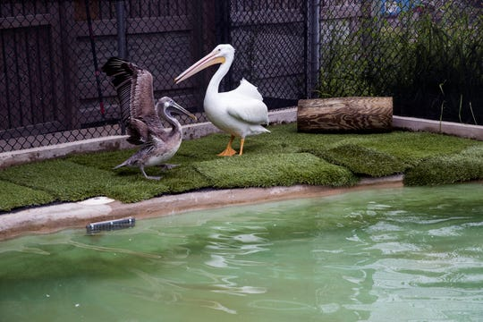 A white and brown pelican are two animals under care at the Texas State Aquarium's wildlife rescue facility on Friday, March 1, 2019. As the facility's rescue numbers have continued to grow, they announced their intentions to build a $25 million wildlife research center, which would care for the rescued animals brought to the aquarium facility.