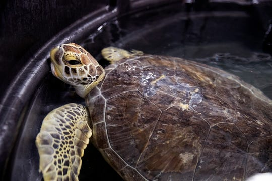 A green sea turtle with fibropapilloma swims in a tank at the Texas State Aquarium's wildlife rescue facility on Friday, March 1, 2019. As the facility's rescue numbers have continued to grow, they announced their intentions to build a $25 million wildlife research center, which would care for the rescued animals brought to the aquarium facility.