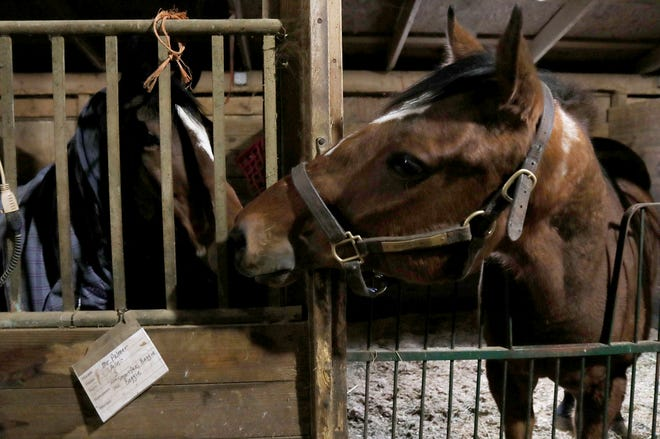 (L to R) Mr. Palmer and Warrior Inside play with each other at their stalls inside Willowbrooke Farms in Plymouth, Michigan on Tuesday, February 5, 2019.This farm caters towards retired race horses enrolled in the Canter USA program that rehabs, retrains and finds new homes for thoroughbreds who leave racing at young ages when they become injured or are not fast enough to win..
