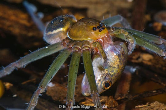 A fishing spider (genus Thaumasia) preying on a tadpole in a pond.