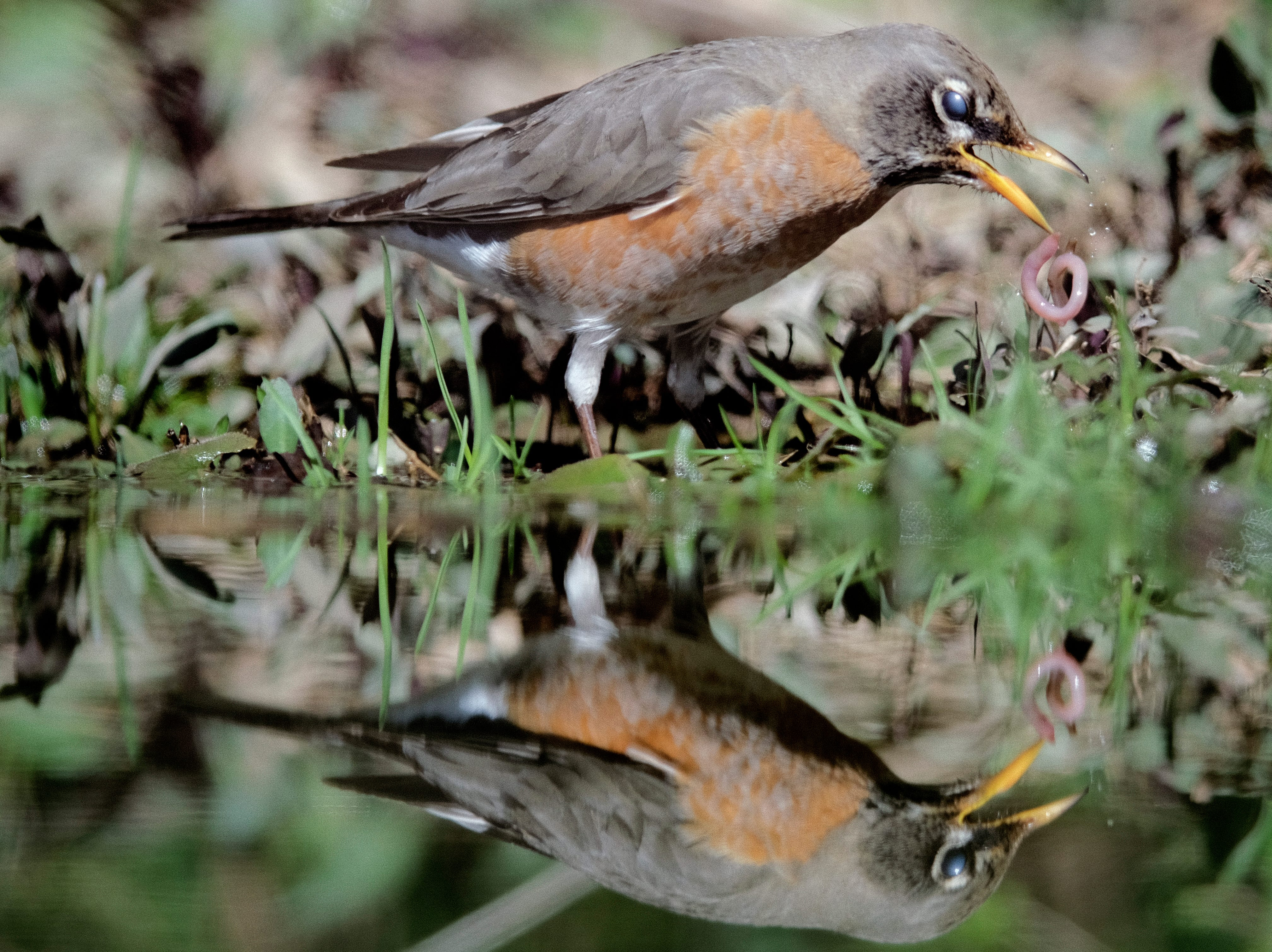 An American robin pulls an earthworm from a puddle of water in Knoxville, Tennessee on Monday, February 25, 2019. American robins feed on a mixture of fruits, berries, earthworms and insects.