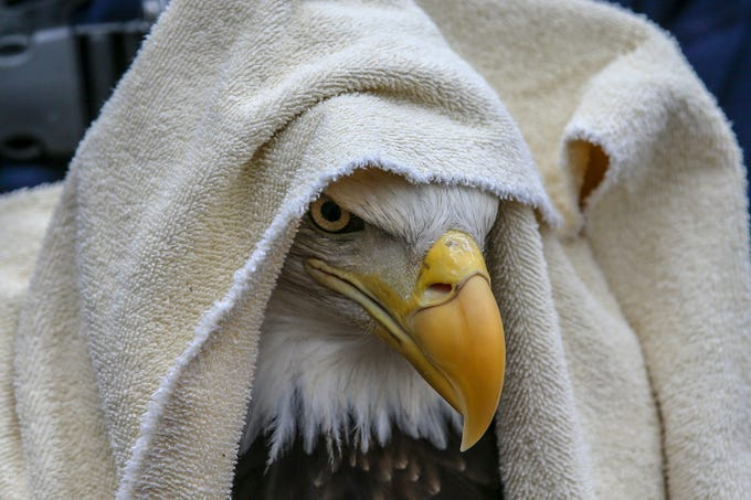 A female bald eagle peers out from a towel as it prepares to be released.  The eagle was brought to the facility on December 7th, 2018 after fighting with another female bald eagle and then being struck by a car.  Today she was released back into the wild at Fort Duffield Park in West Point.March 1, 2019