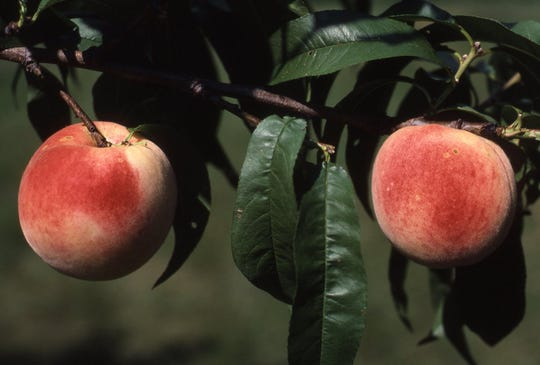 """These large white peaches are fully ripe and ready to be picked. The variety is """"Eden,"""" one of the largest peaches with white, sweet flesh."""