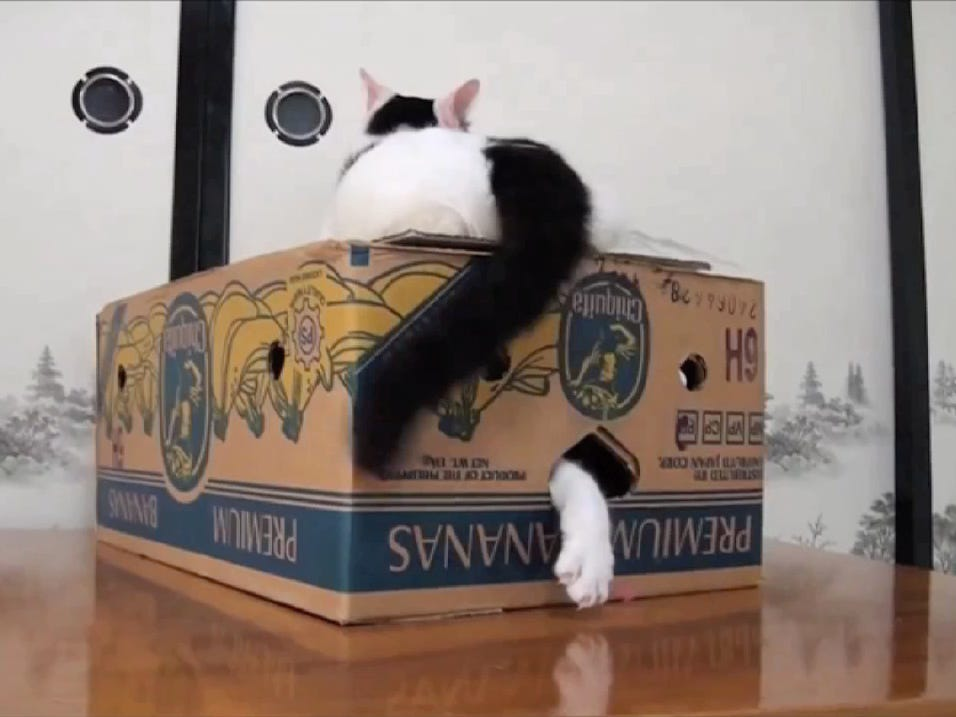 "Cats love cardboard boxes (being on top of and inside), as shown in one of the clips from the 2019 edition of ""CatVIdeoFest."""