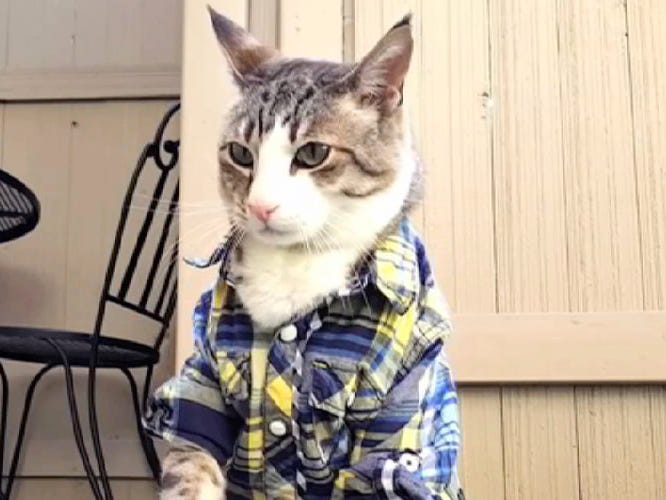 "This cat is all dressed up with, hopefully, someplace else to go, in a clip from the 2019 edition of ""CatVideoFest."""