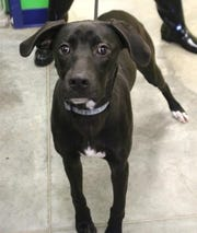 Max is an 8-month-old, neutered male, Large mixed breed dog.