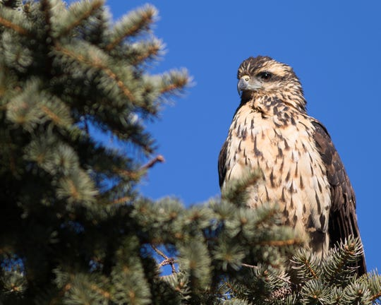 This young Great Black Hawk died in Maine this winter, 2,000 miles from home.