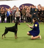 Marit Alsager is pictured showing her doberman at last month's Westminster Dog Show in New York City.