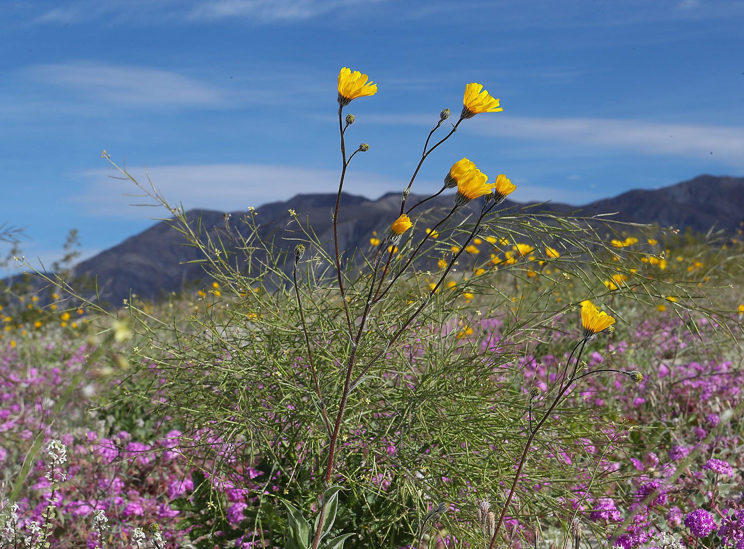 Wildflowers bloom in the Anza Borrego Desert State Park near Borrego Springs, California, March 1, 2019.